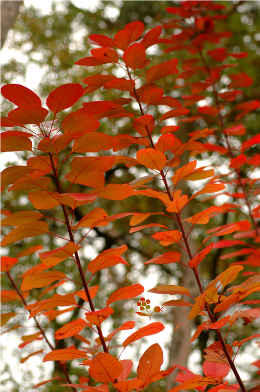 Cotinus pourpre_automne 2014_1