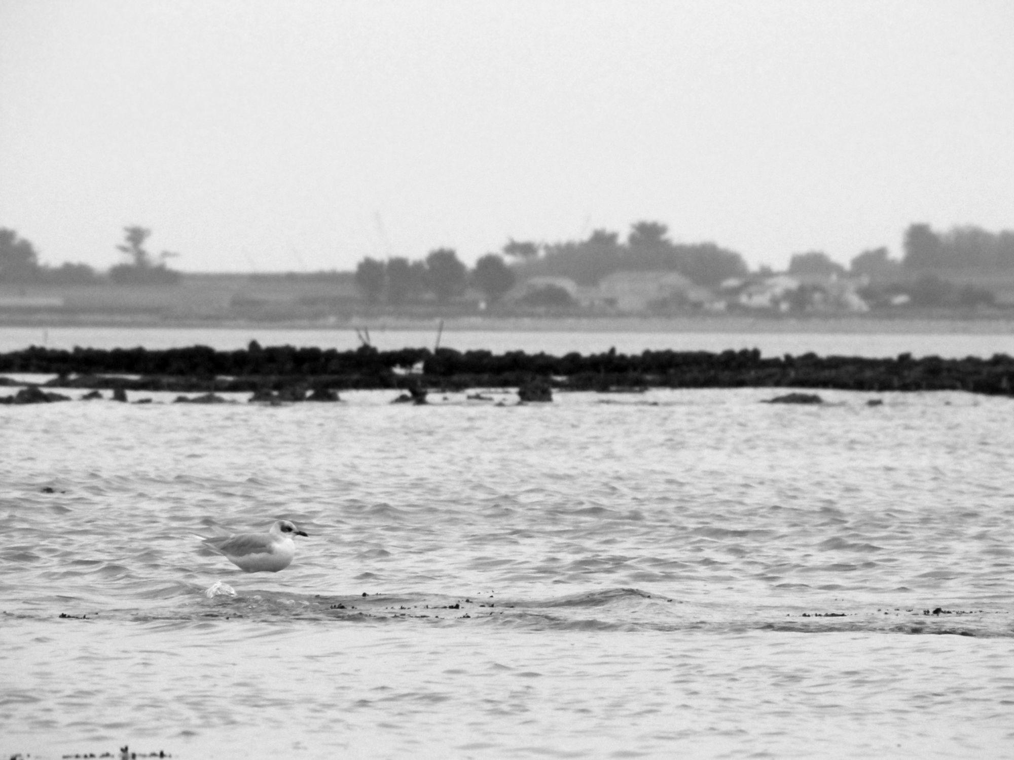 Oiseaux ile de re foto Mo2 (41)-h1500
