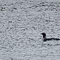 Plongeon arctique - Gavia arctica