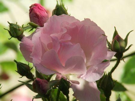 rose banks rose