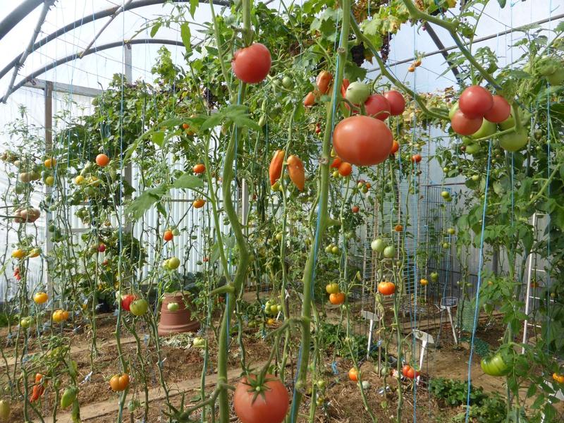 22-serre-tomates (2)