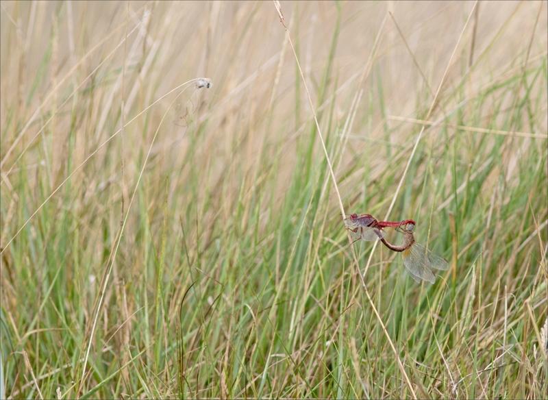 MS Brouage 260817 14 libellule Crocothemis écarlate acoupplt