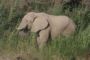 Hoarusib éléphant