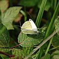 Accouplement de Piérides de la Rave (Pieris rapae)