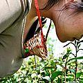 12-chine-chinois entre tradition et modernité : la cueillette du thé par des jeunes vierges à forte poitrine!