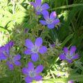 petites fleurs bleues de montagne