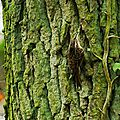 Grimpereau des jardins 20-1
