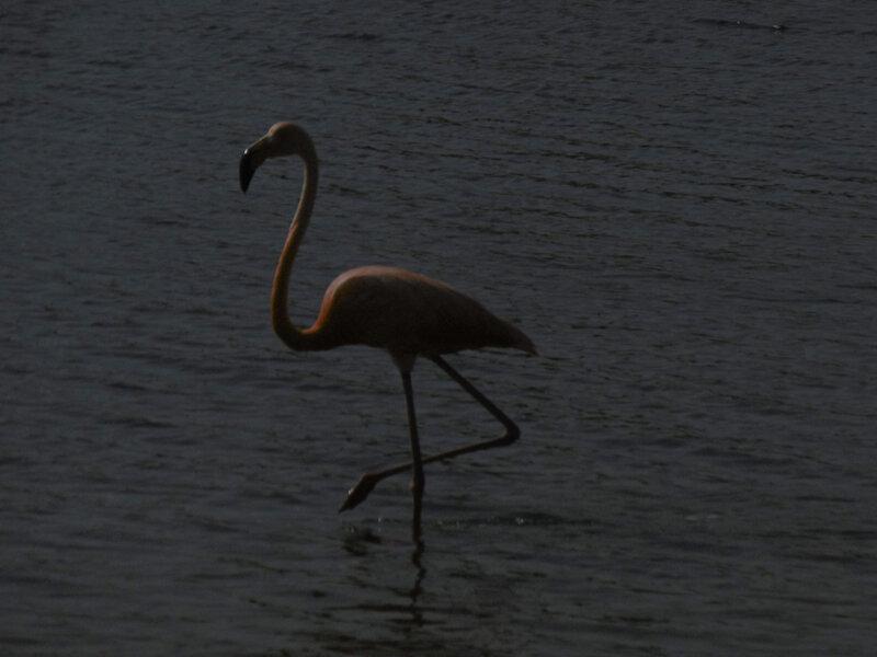 24 - flamands sur lac Cotomeer Bonaire (13)