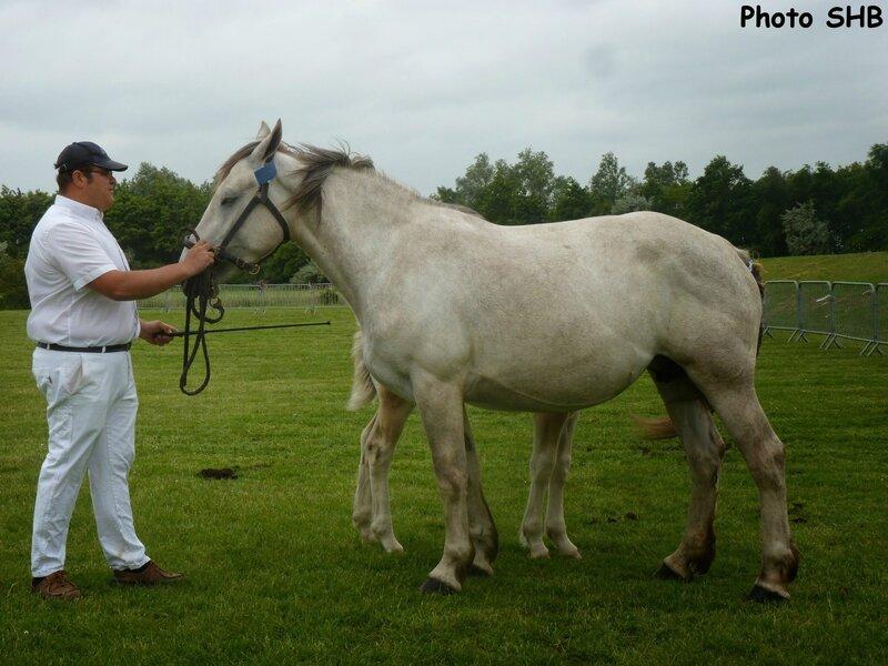 Altesse de la Prairie (livre B - Boulonnais x AraboBoulonnais)Querelle du Boncoin - Concours Elevage local - Bourbourg (59) - 17 Juin 2014 - Photo SHB