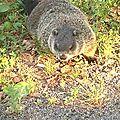 Québec - Marmotte sur le parking de la piscine.