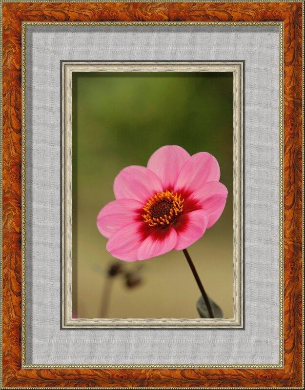 Dahlia rose2