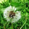 Fleurde pissenlis(du moins ce qu'il en reste!!!)