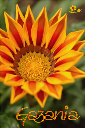 Gazania bicolore jaune-orange