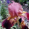 iris bronze