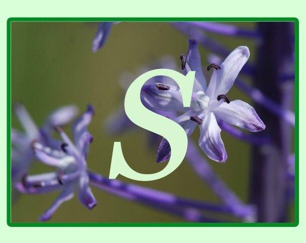 S Plantes Dont Le Nom Scientifique Commence Par La Lettre S Sète Lagunes Et Garrigue