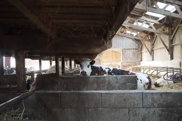 01 vaches inside