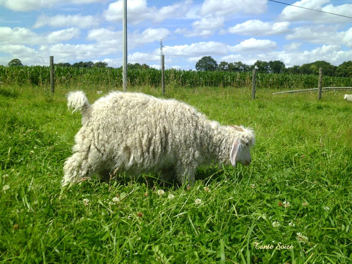 Visite à la ferme   Mohair du pays de Corlay (22) - Chez Tante-Soize d05f1f30f45
