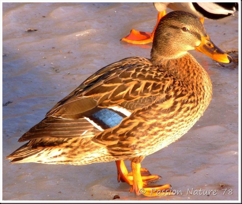 Canard colvert (3)