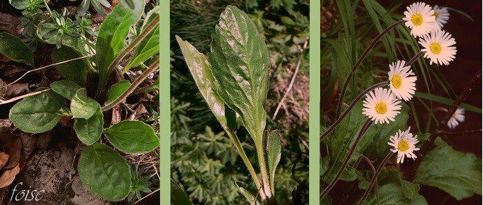 feuilles pétiolées en rosette basale tiges pubescentes nues