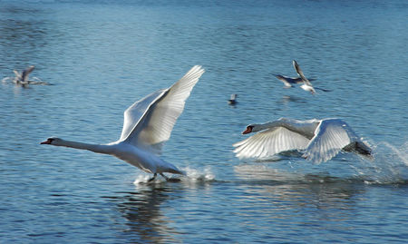 Cygnes2