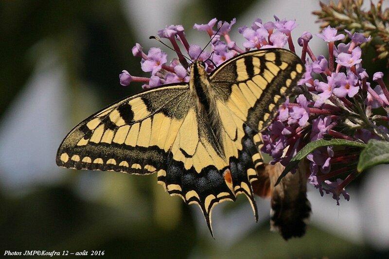 B - Photos JMP©Koufra 12 - Papillons - 30 aout 2016 - 0033 - 001