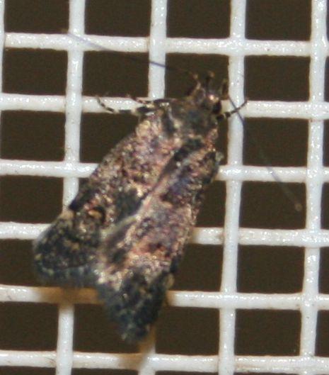Oecophoridae sp. 02