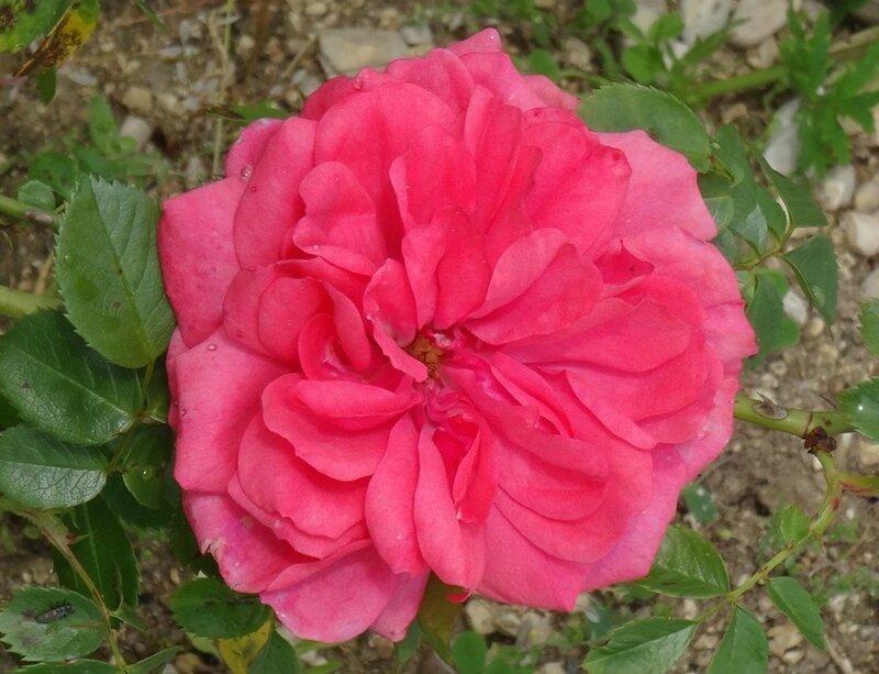 rose de willemse fuchsia