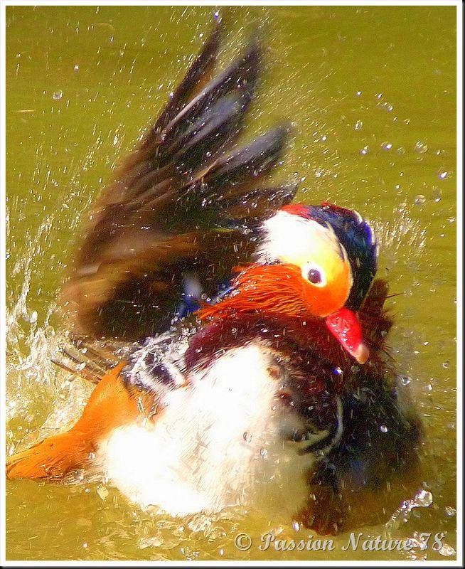 Le canard mandarin (16)