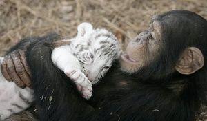 tigreau_et_chimpanz_