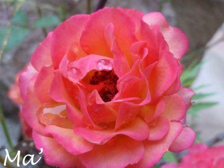 130620_rose2