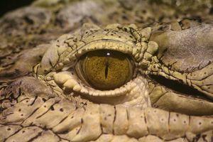oeil-de-crocodile-reptiles-caf360T650