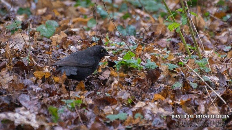 Merle noir (Turdus merula - Common Blackbird)