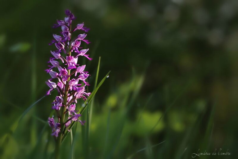 w_orchis_20150510_7862