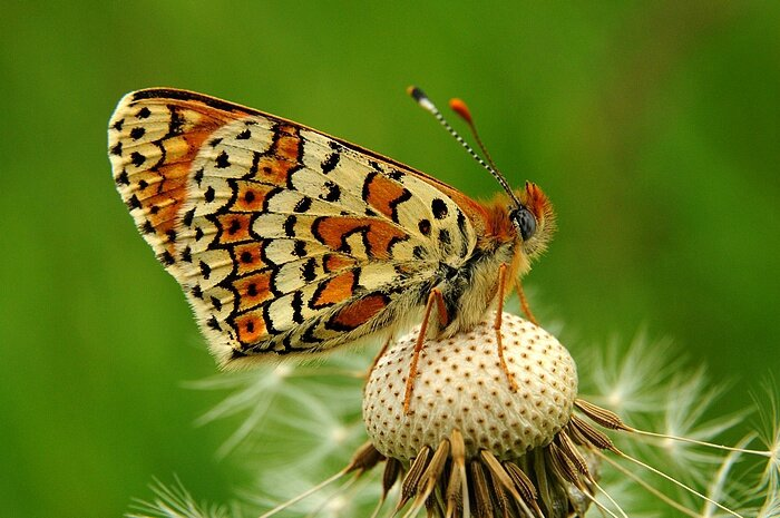 Papillon et pissenlit