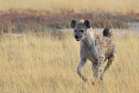 Hyène tachetée, parc d'Etosha, Namibie (2)