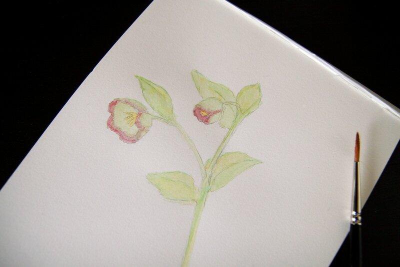 herbier-aquarelle-hellébore-détail