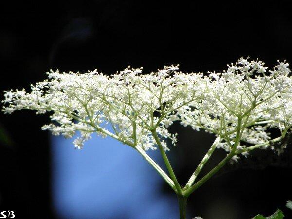 Virgule fleur blanche parc