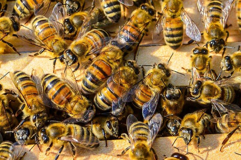 essaimage-abeilles-colonie