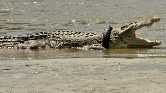 indonesie-un-crocodile-avec-un-pneu-autour-du-cou-risque-d-etouffer