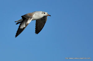 mouette_t_te_grise__12_