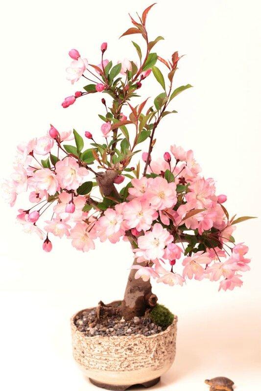 nouveaux-20pcs-rose-cerise-graines-d-arbres-de-fleurs-de-sakura-bonsaï-fleurs-faciles-à-planter