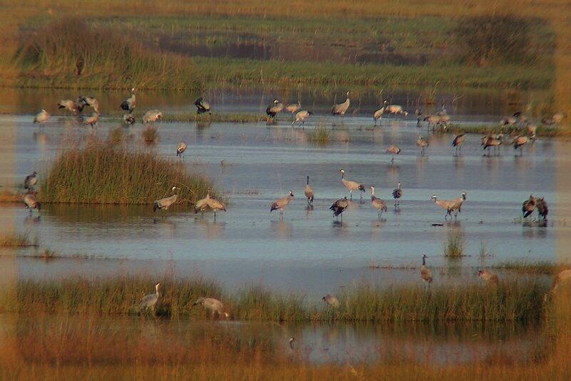 grues cendrées étang de Cousseau