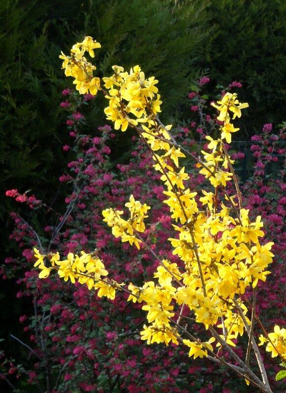 forsythia sur fond de groseiller fleurs