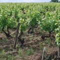Vignes clos Naudin