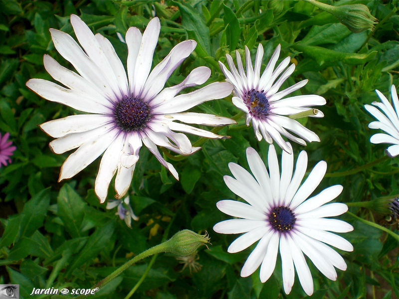 8743_Aster_sp