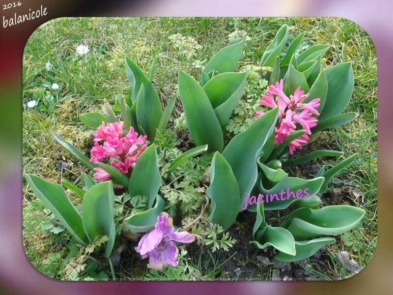 balanicole_2016_04_avril_26_jacinthes3