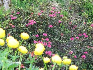 Trolles_et_rhododendrons