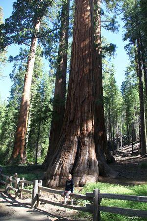 pauline et sequoias