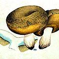 31 Boletus subtomentosus, 20 7bre 1890 pl 83