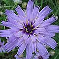 Catananche et quelques anges